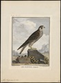 Falco peregrinus - 1700-1880 - Print - Iconographia Zoologica - Special Collections University of Amsterdam - UBA01 IZ18200140.tif