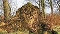 Fallen beech tree root bole, Stewarton, Ayrshire.jpg