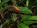 False Bird-of-paradise (Heliconia acuminata) (39237591632).jpg