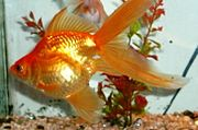 A shiny gold and orange goldfish with a short, bulging body, and very long, flowing fins and tail, facing left