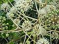 Fatsia japonica.005 - Zapateira.jpg