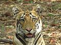 Fearless Tigress1.jpg