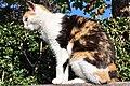 Felis silvestris catus - Rapperswil Duftrosengarten 2011-10-23 15-27-26.jpg