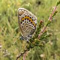 Female Plebejus argus side view in the Aamsveen, The Netherlands.jpg