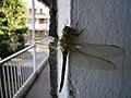 Female migrant hawker dragonfly.jpg