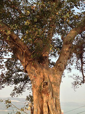 Ficus virens - Curtain Fig Tree