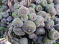 Ficus auriculata 011.JPG