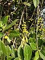 Ficus hispida, Hairy Fig, devil fig, opposite-leaved fig-tree, rough-leaved fig, എരുമനാക്ക്, പാറകം, കാട്ടത്തി,fruit .jpg