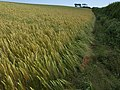 Field of barley near Sherford Cross (3) - geograph.org.uk - 1363674.jpg