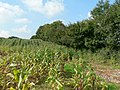 Field of maize and woodland boundary near Llanharry - geograph.org.uk - 969341.jpg