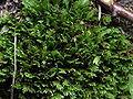 Fissidens cristatus0.jpg