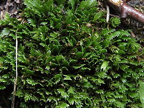 Kamm-Spaltzahnmoos (Fissidens cristatus)