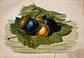 Five plums (Prunus domestica) in a bed of leaves. Chromolith Wellcome V0044428.jpg