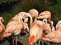 Flamingoes @ San Francisco Zoo (4437128452).jpg
