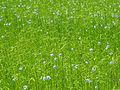 Flax field, Gottem 2011 b.jpg