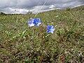 Flax from Ostritsa (5).jpg
