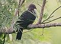 Flickr - Rainbirder - Sri Lanka Wood Pigeon (Columba torringtoni) (1).jpg