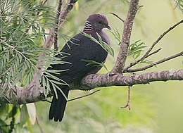 Flickr - Rainbirder - Sri Lanka Wood Pigeon (Columba torringtoni) (1).jpg