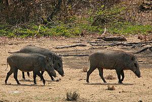 Samding Dorje Phagmo - Wild sows