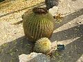 Flickr - brewbooks - Echinocactus grusonii Golden Barrel Cactus.jpg