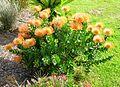 Flickr - brewbooks - Flowers at Endless Summer Lodge (2).jpg