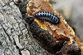 Flickr - ggallice - Pleasing fungus beetle.jpg