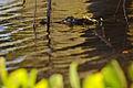 Flickr - ggallice - Yacare caiman.jpg