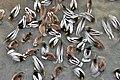Flocking behavior of mallard ducks when feeding.jpg