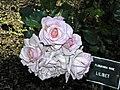 Floribunda - Lilibet 3 (b).JPG