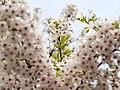 Flower viewing custom, Japan; April 2014 (07).jpg