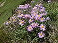 Flowering Aster alpinus in austrian alps.jpg