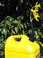 Flowering Diesel Fuel.jpg