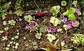 Flowering Pings (14034854333).jpg