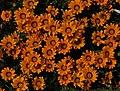 Flowers, Coleton Fishacre - geograph.org.uk - 1365371.jpg