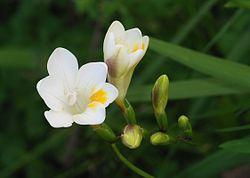 Flowers February 2009-1.jpg