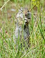 Foraging Uinta Ground Squirrel (Urocitellus armatus), Coulter Bay, Grand Teton NP (19433316198).jpg