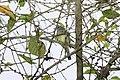 Forest Elaenia (Myiopagis gaimardii) (4505542640).jpg