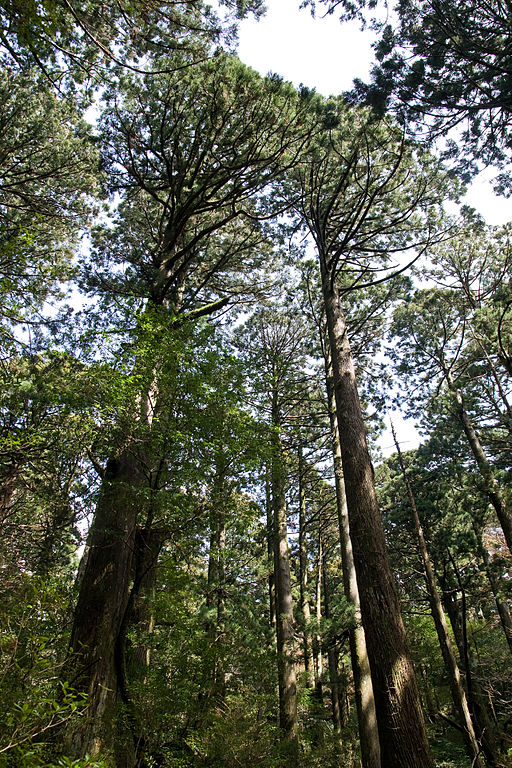 Forest in Yakushima 29