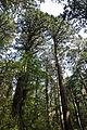 Forest in Yakushima 29.jpg
