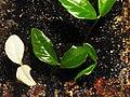 Fortunella margarita f01.jpg
