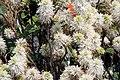 Fothergilla gardenii Mt. Airy 7zz.jpg
