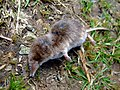 Found dead, common shrew (Sorex aranaeus) - geograph.org.uk - 1368889.jpg