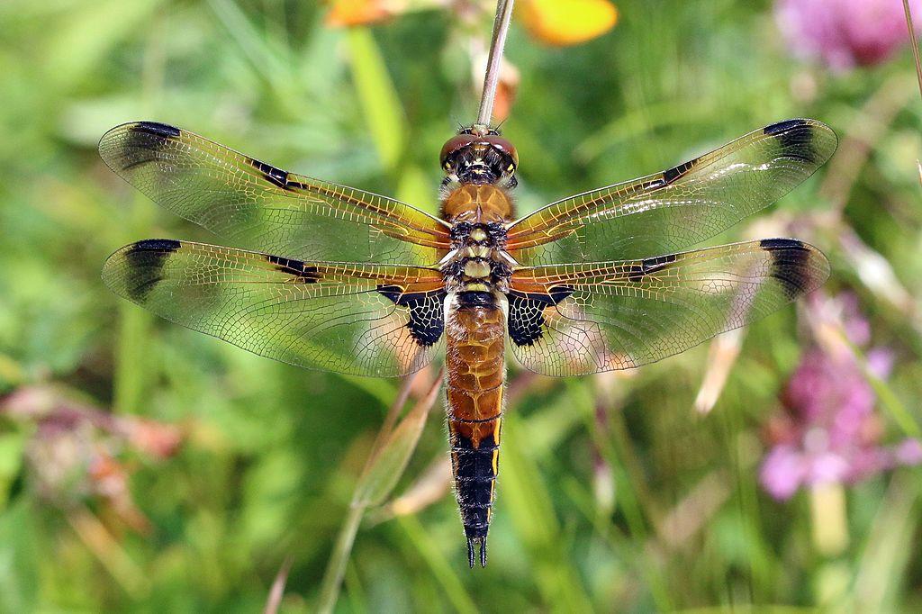Four-spotted chaser (Libellula quadrimaculata) female dorsal.jpg