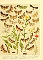 Fr. Berge's Schmetterlingsbuch nach dem gegenwärtigen Stande der Lepidopterologie neu bearb. und hrsg. von Professor Dr. H. Rebel (Plate 31) (6059078164).jpg
