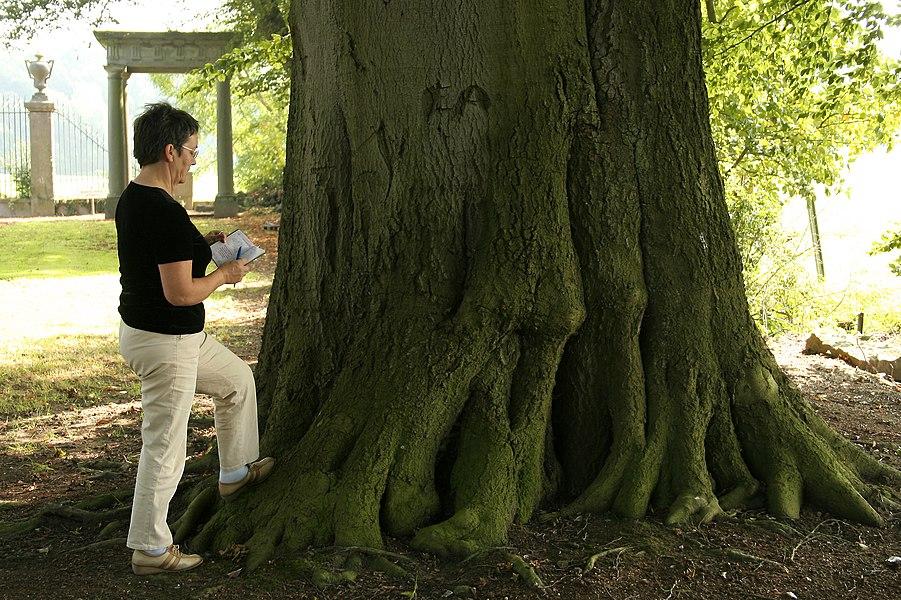 Fraiture  (Belgique), hêtre commun (Fagus sylvatica) remarquable de l'ancien parc du château – circonférence mesurée à 1m50 du sol: 540cm (2007).