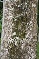 Fraxinus uhdei 10zz.jpg
