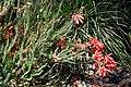 Freesia caryophyllacea 03.jpg