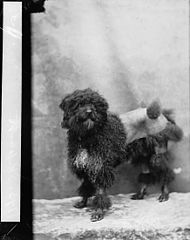 French poodle (Skipurtt)