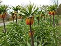 Fritillaria imperialis 2015-04-16 137.jpg