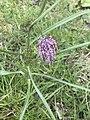 Fritillaria meleagris 120976908.jpg